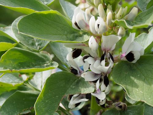Plasnewydd Community Gardens Broad Beans