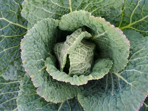 Plasnewydd Community Gardens Cabbage